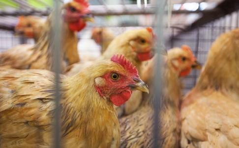 Chicken vendors test negative for avian flu in Macau