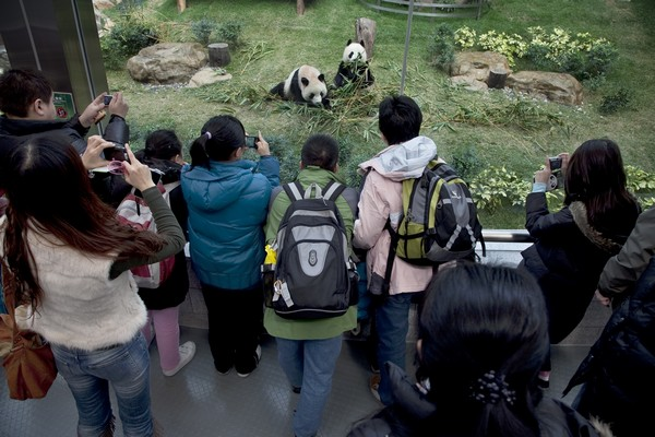 IACM says 2015 'ideal' for panda pair to mate