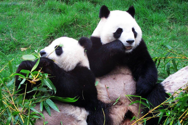 New renamed Panda pair to arrive next Thursday