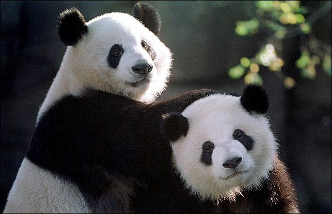 China  to start picking pandas as gift for Macau