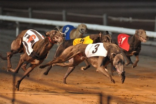 ANIMA pledges to find greyhounds new homes if racetrack is closed