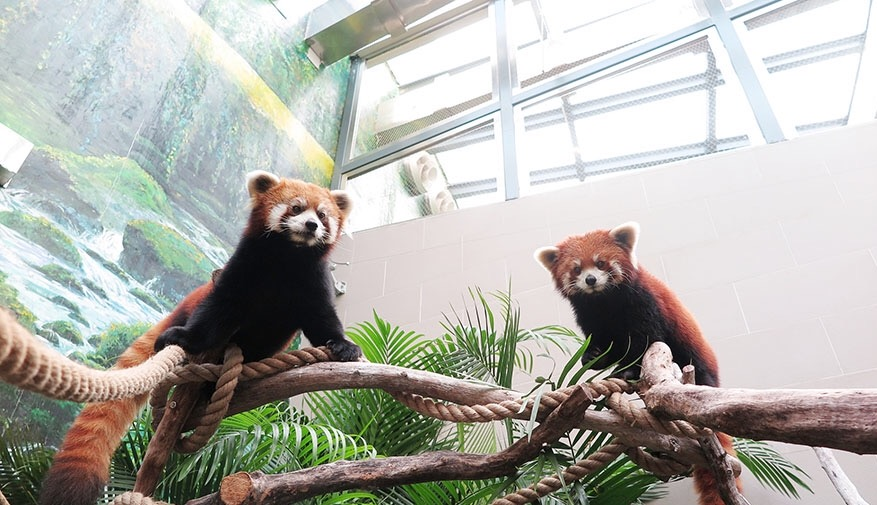 Macau's red pandas make their first public appearance