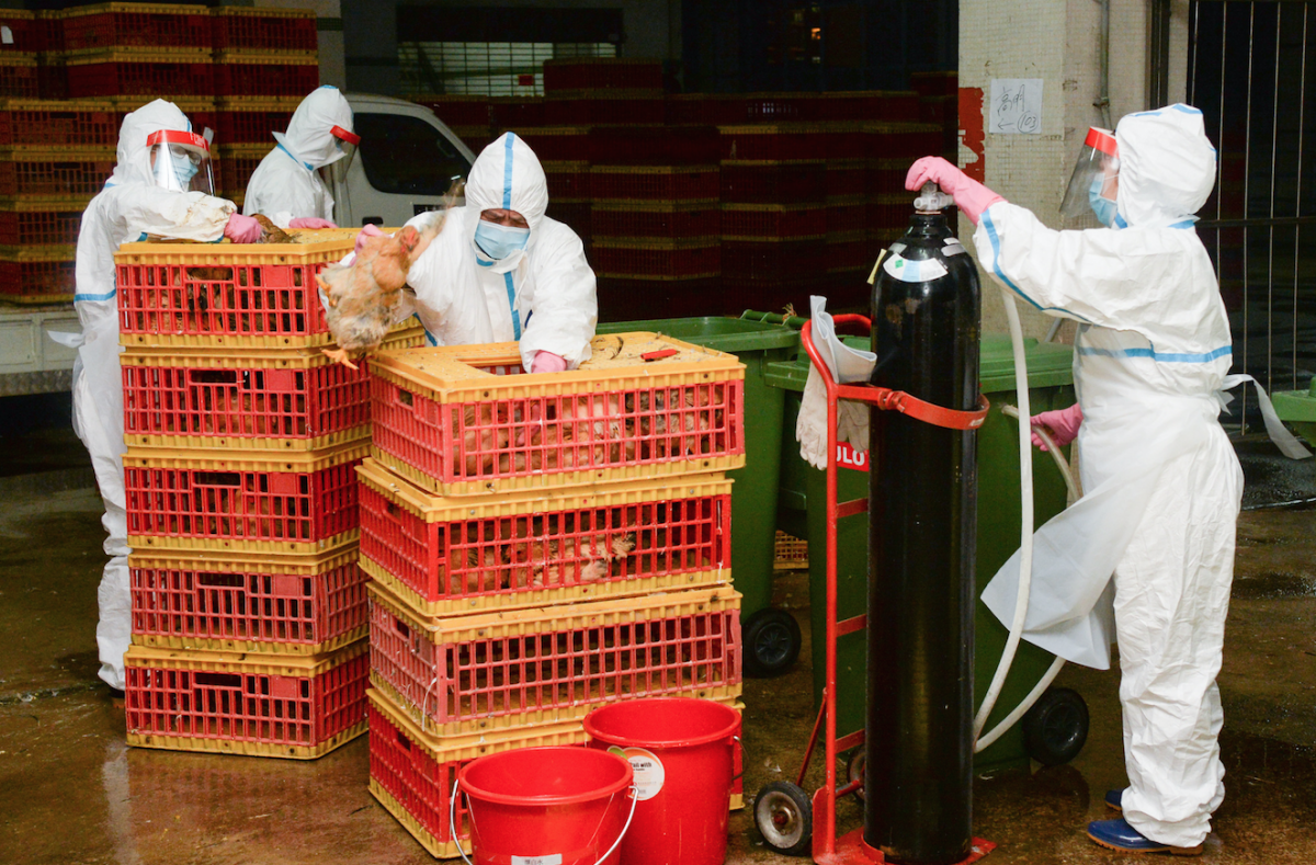 Bird flu stops live poultry sales for at least 3 days