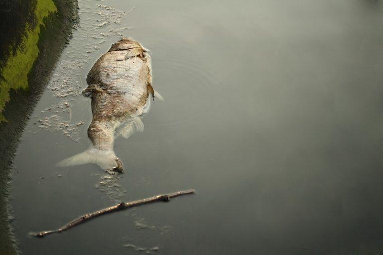 macau dead fish