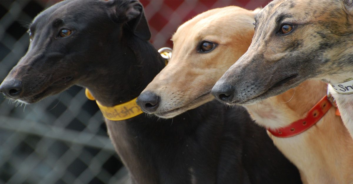 Yat Yuen tells old people's home greyhounds will be 'temporary neighbours'