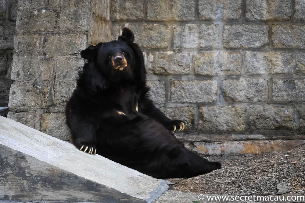 Asian black bear Bobo's health is deteriorating