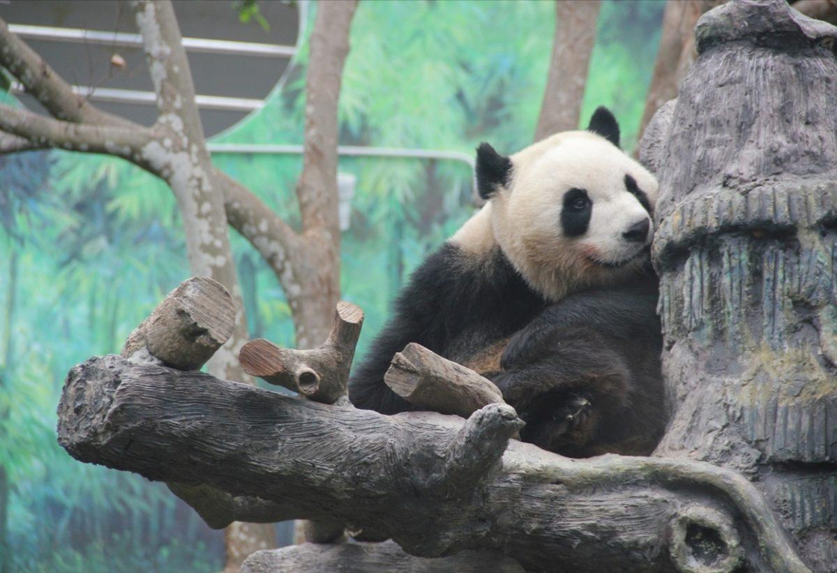 Local-born pandas 'Jianjian' & 'Kangkang' will become 'adults' next year