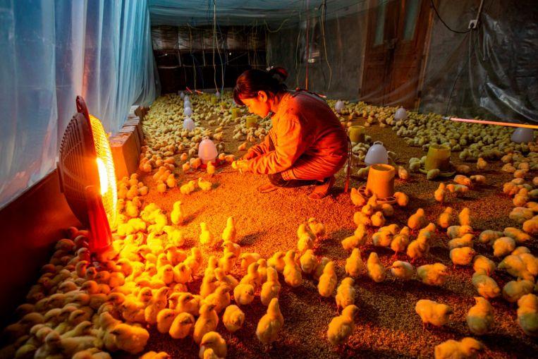 Avian influenza A H5N6