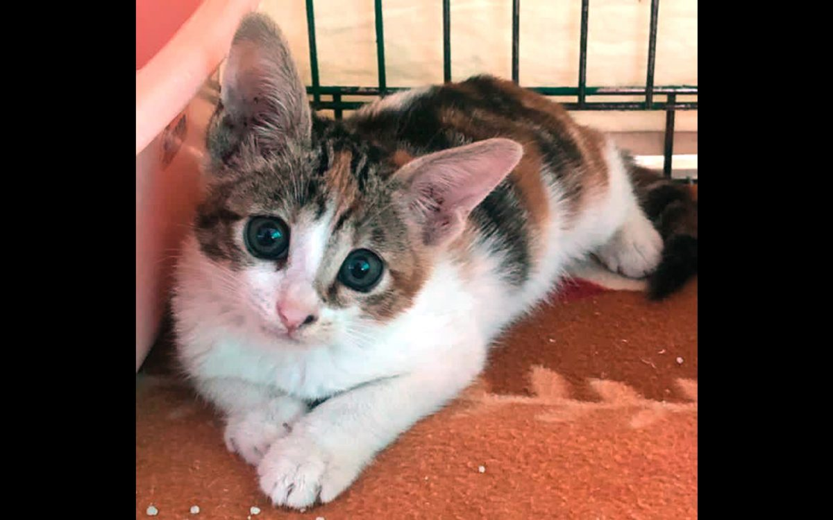 Belle, a kitten for adoption at Anima / Macao pet adoptions
