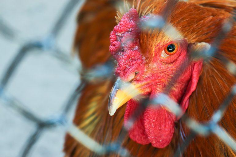 Chicken behind wiring
